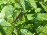 Blauflügelprachtlibelle, Weibchen