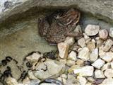 südliche Erdkröten bei der Laichablage