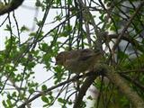 junger Grünfink