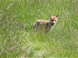 Fuchs, misstrauisch