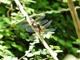 Paarungsrad der Plattbauch-Libelle