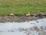 Rostgänse (tadorna ferruginea)