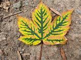 herbstliches Ahornblatt