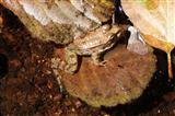 junger Seefrosch auf Erlenblatt
