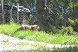 Fuchs beim Mausen