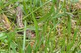 Kreuzotter (1)