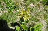 punktierter Enzian (gentiana punctata)