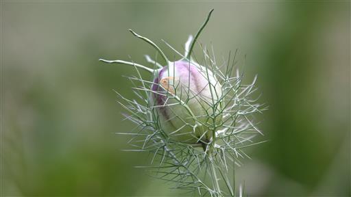nach der Blüte-3