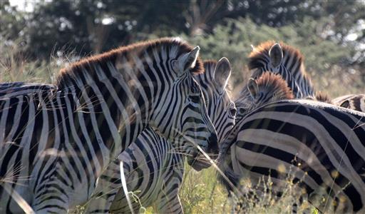 Zebras im Gegenlicht
