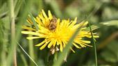 Biene mit Brille?