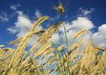 Getreide im Sommerwind