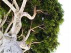 Baum auf Teneriffa