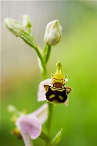 Bienen-Ragwurz aus etwas anderer Perspektive