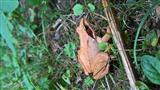 Springfrosch im Gras