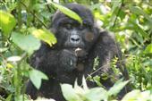 wählerische Gorilla