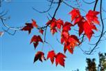 Rotahorn im Herbst