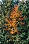 Buchenfeuer im Nadelwald