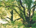 Drei Linden in Weiler