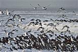 Austernfischer im Schneetreiben