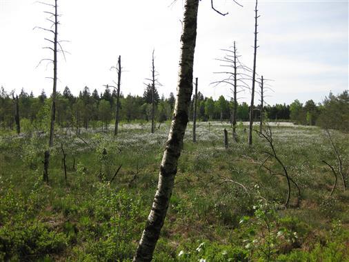 Waldsterben im Wurzacher Ried