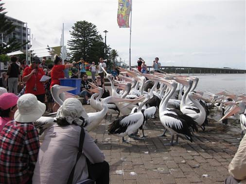 Pelikanfütterung