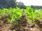 Tabakfeld in Kuba