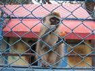 Affe hinter Gittern