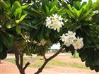 Weiße Plumeria