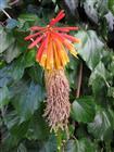 Aloe-Blüte