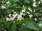 Tung-Blüten