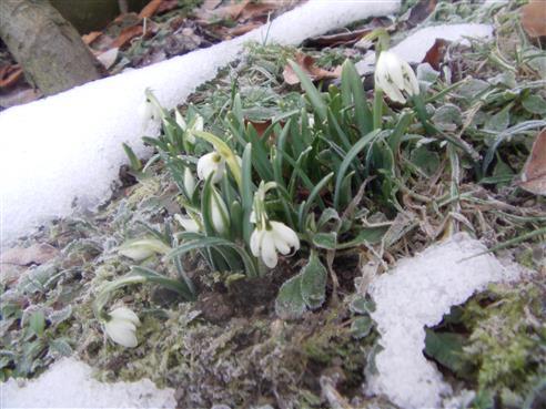 Schneeglöckchen(gefüllte Form)(Galanthus nivalis(L.))