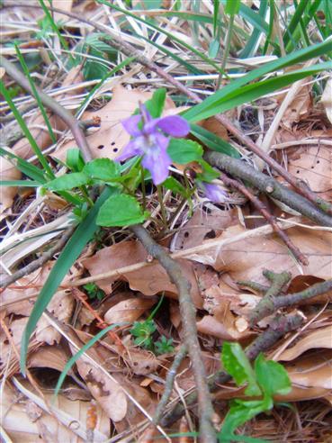 Waldveilchen(Viola reichenbachiana(L.))