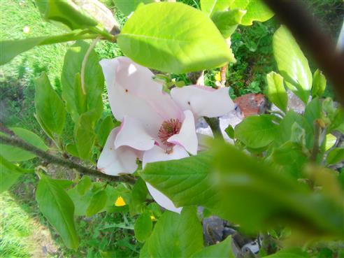 Blüte einer Magnolie(Magnolia liliiflora)