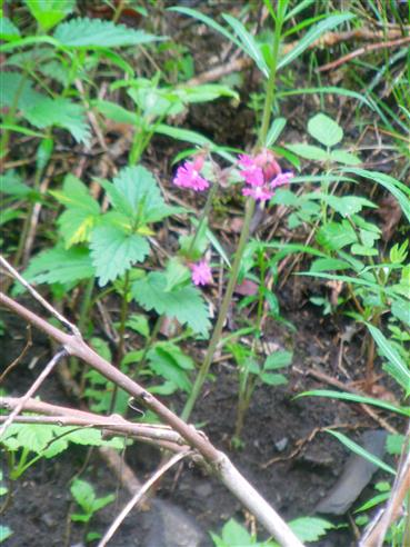 Rote Lichtnelke(Melandrium rubrum(L.))