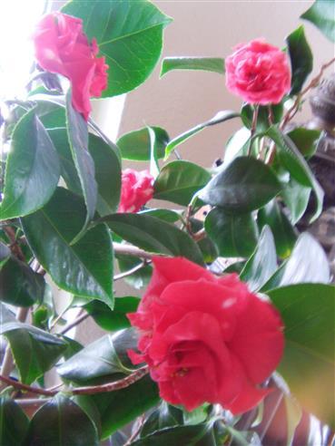 Kamelie(Camellia japonica(L.))