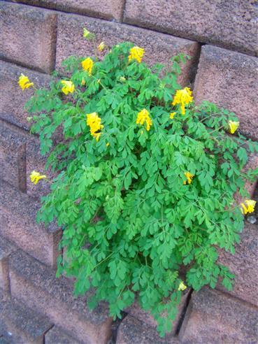 Gelber Lerchensporn (Corydalis lutea(L.))