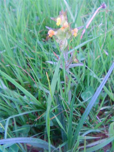 kleiner Klappertopf(Rhinanthus minor(L.))