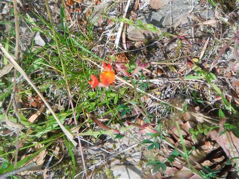 Hornklee(Lotus(L.))