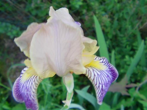 Holunder-Schwertlilie(Iris x squalens)
