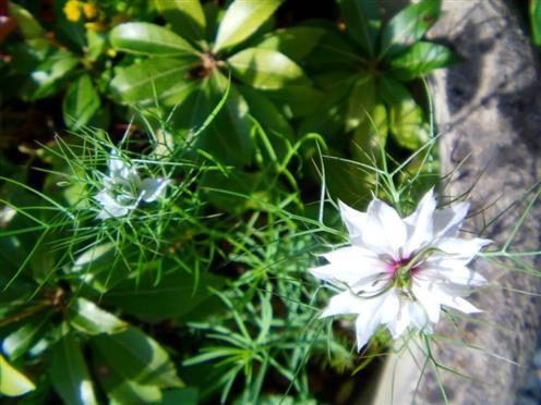 Jungfer im Grünen(Nigella damascena(L.))