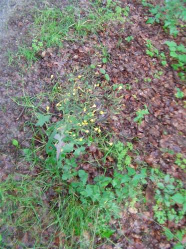 Kompasslattich(Lactuca serriola(L.))