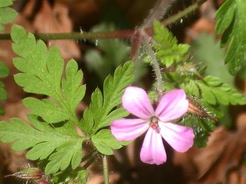 Ruprechtskraut(Geranium robertianun(L.))
