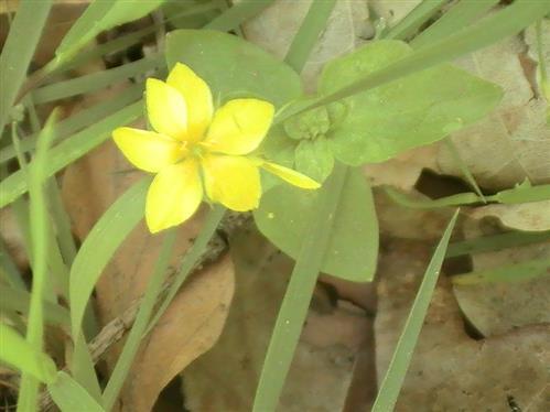 Hain-Gilbweiderich(Lysimachia nemorum(L.))