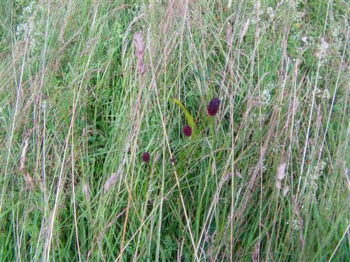 großer Wiesenknopf(Sanguisorba officinalis(L.))