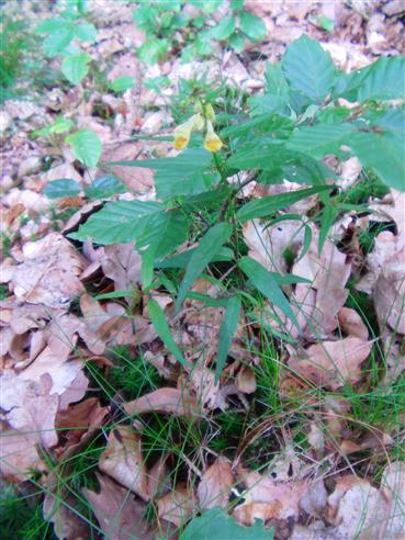 Wald-Wachtelweizen(Melampyrum sylvaticum(L.))