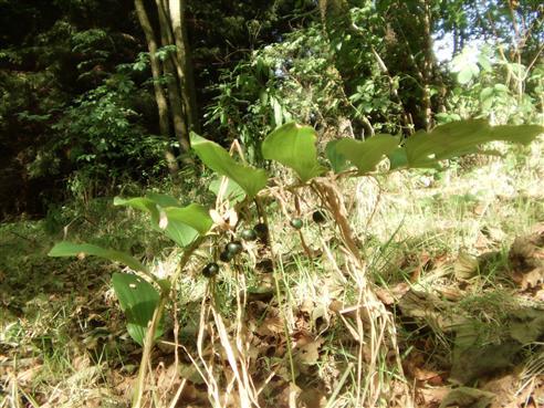 Vielblütige Weißwurz(Polygonatum multiflorum(All.))
