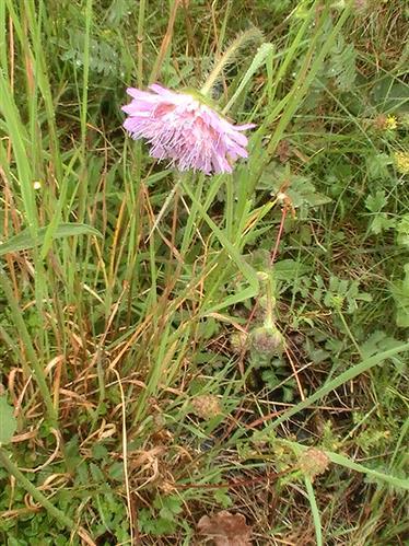 Acker-Witwenblume(Knautia arvensis(Coult. ))
