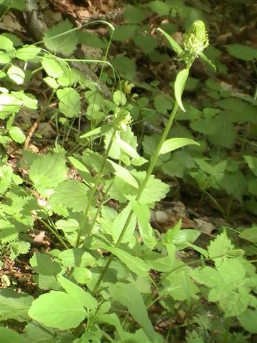 ährige Teufelskralle(Phyteuma spicatum(L.))