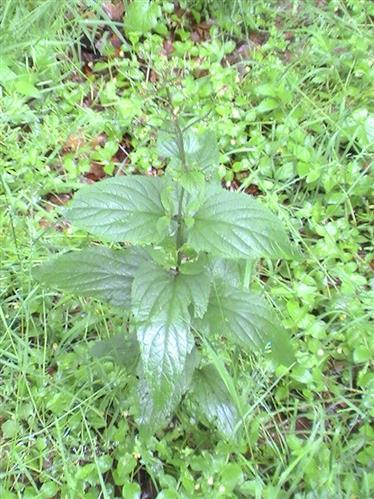 Knotige Braunwurz(Scrophularia nodosa(L.))