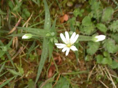 große Sternmiere(Stellaria holostea(L.))